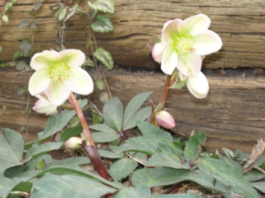 Hellebore in bloom